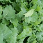 NEW rape kale hybrid brassica UNICORN