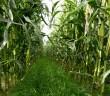 Undersown grass in maize.
