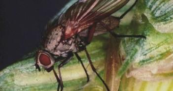 Wheat bulb fly (c) ADAS