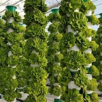 Indoor lettuce prduction, no heat or artifical light