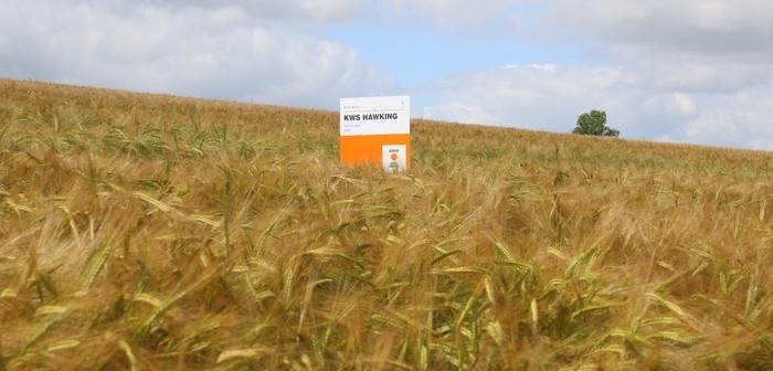 KWS Hawking winter barley