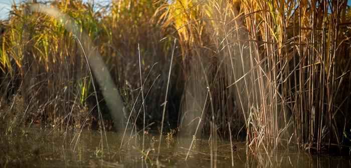 Miscanthus on waterlogged land