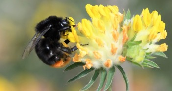 Red-tailed bumblebee on kidney vetch Pic credit - Tim Squire, South Downs National Park ranger