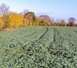 Oilseed rape image 900x507