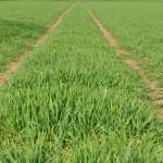 Young hybrid barley @300