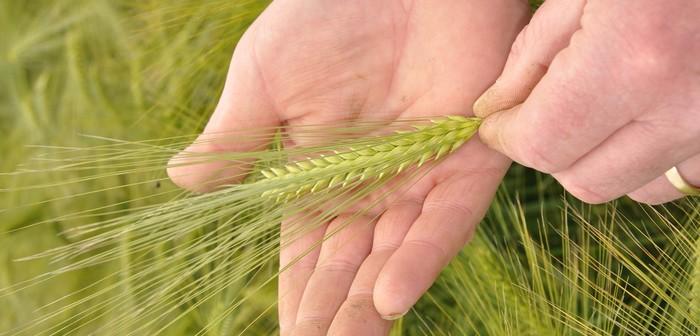 Hybrid barley in hand 2 @300