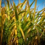 Miscanthus crop 20192020
