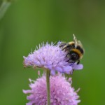 Pollinating insects need flower-rich habitats to survive (Paul Cazaly)