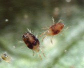 New acaricides to tackle return of mite problem to orchards
