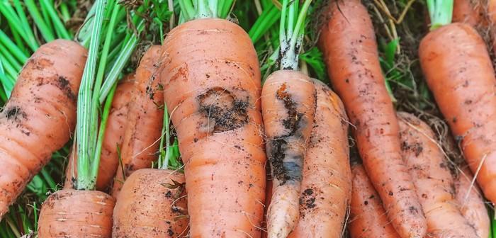 Carrot fly pest damage