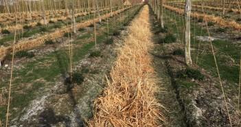 Terminated cover crop in hop garden