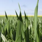 Winter wheat flag leaves 2