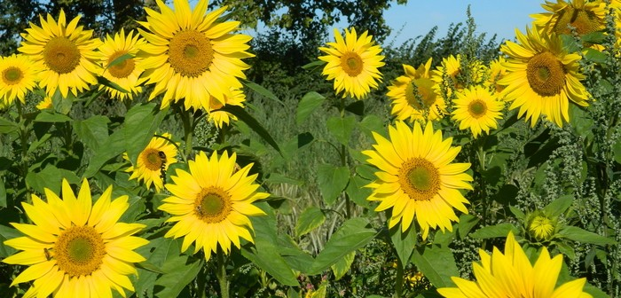 Limagrain's wild bird seed mixture Jack Russell in full flower