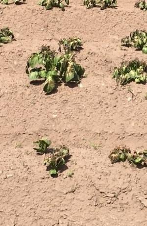 Potatoes frost damage