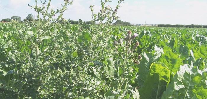 Thistles in sugar beet