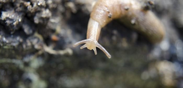 Slug on a dark background closeup