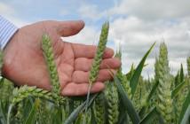 Wheat 1 @300