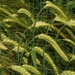 Valerie winter barley