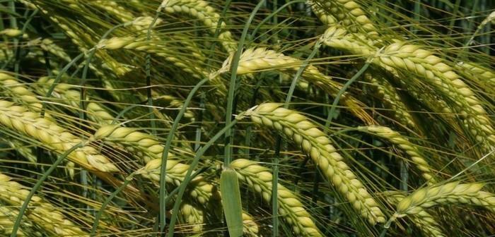 Valerie winter barley