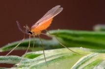 Orange Wheat Blossom Midge