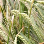 LG Mountain winter barley