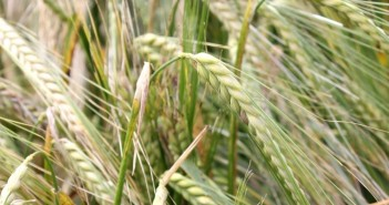 LG Mountain winter barley