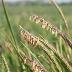 Black-grass heads