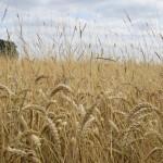 Black-grass in mature wheat