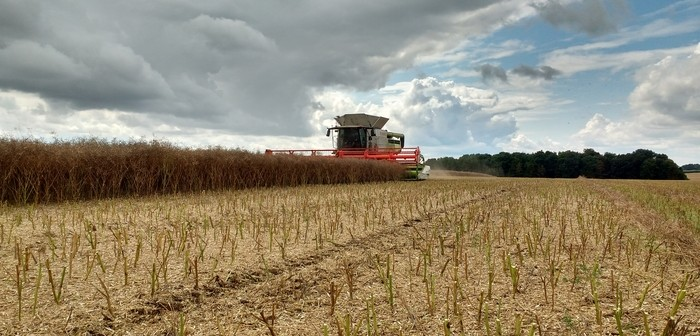 Harvesting OSR at Worlaby Farms Lincs