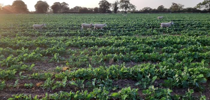 Sheep grazing on iOSR Focus site to remove CSFB larvae