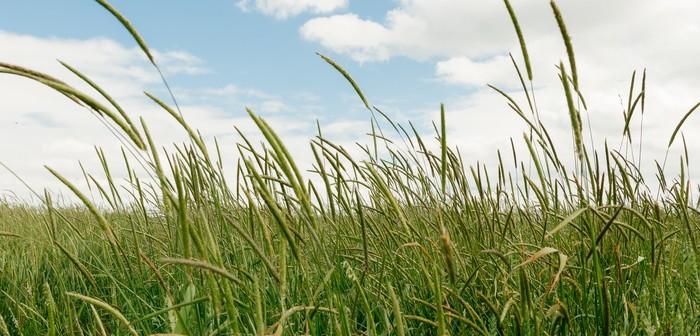 InterAgro Blackgrass heads above a crop of wheat, in ear still green.