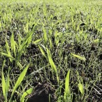 Blackgrass in barley