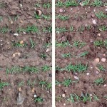 Improved establishment of conventional winter barley from Vibrance Duo-based seed treatment (right) versus standard seed treatment (left)