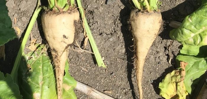AminoA STAART Sugar Beet Treated V Untreated Mid Season
