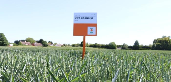 KWS Cranium sets new benchmarks for UK Group 4 hard wheat