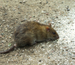 Rodent populations are high again this year