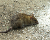 Beware of rodents attacking precious straw stocks