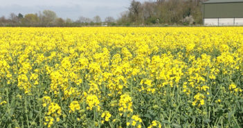 High value spring oilseed rape opportunity should not be missed