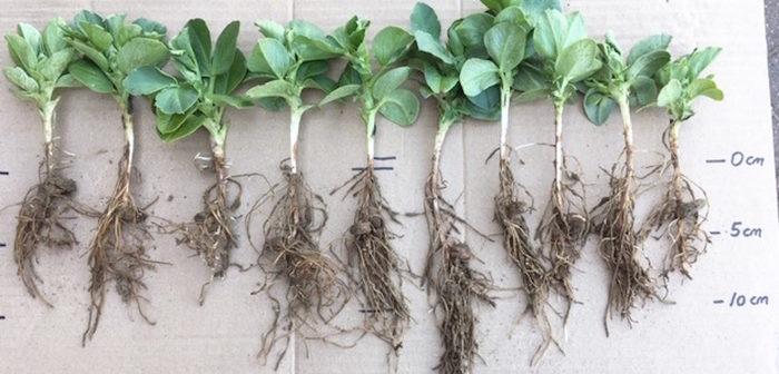 Soil treatment unlocks vital phosphorus supply for spring crops