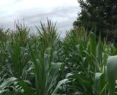 Growing maize and grass together has yield benefits